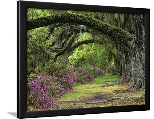 ArtEdge Stately Live Oaks, Quercus Virginiana, and Blooming Azaleas, Magnolia Plantation, Charleston, Sc by Adam Jones, Black Wall Art Framed Print, 18 x 24