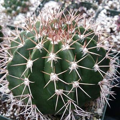 Melocactus violaceus no cephalium : Garden & Outdoor