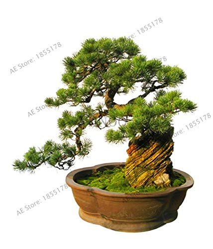 New Fresh Five-leaved Pine Tree Plants Potted Landscape Japanese Five Needle Pine Seeds miniascape Garden 50 pcs/Pack, ()