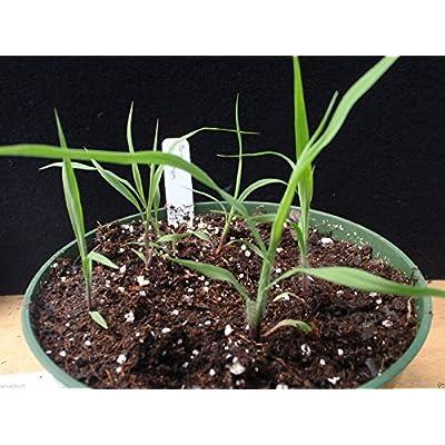 Big Bluestem Seeds - Andropogon gerardii - Native Ornamental Grass Seeds !(500 Seeds) : Industrial & Scientific