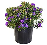 Rhododendron X'Blue Baron' (Rhododendron) Evergreen, bluish purple flowers, #3 - Size Container