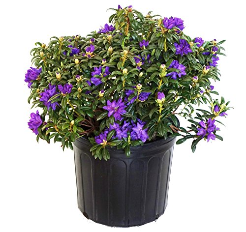 Rhododendron X 'Blue Baron' (Rhododendron) Evergreen, bluish purple flowers, #3 - Size Container by Green Promise Farms (Image #5)