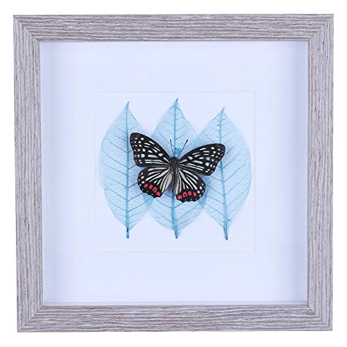 10 x 10 Shadow Box with Real Butterfly Bug Specimen Framed, White Matte and 3 Blue Natural Leaves, Wall Art Decor for Interior Home, Office, Hotel, Classroom, Art Gift for - Interior Decor Home