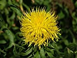 Home Comforts Laminated Poster Centaurea Macrocephala Yellow Cornflower Flower Poster Print 24 x 36