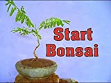 Artistic Solutions 3 Live Red Royal Poinciana Seedlings Grow Your own Flamboyant Bonsai Trees