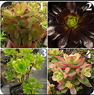 product image for 1pcs Chose Any Aeoniums Live Plant