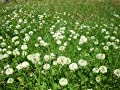 SeedRanch White Dutch Clover Seed: Nitro-Coated and Inoculated - 2 Lbs.