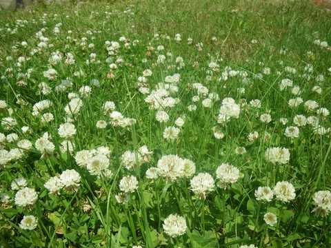 SeedRanch White Dutch Clover Seed: Nitro-Coated & Inoculated - 10 Lbs. by SeedRanch (Image #2)