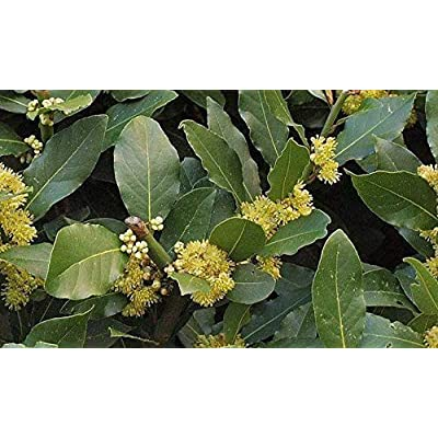 AchmadAnam - Live Plant - Bay Leaf Laurel Leaf - 1 Plant - 1 Feet Tall - Ship in 1 Gal Pot. E9 : Garden & Outdoor
