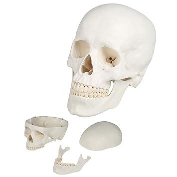 Schädel Modell, anatomisch, 3-teilig, lebensgross, Kopf, Skelet ...