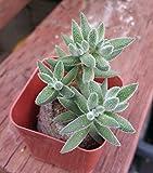 "Crassula Mesembryanthemoides Succulent Rooted 2"" pot/peat pellet"