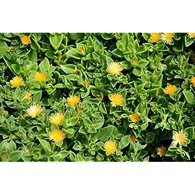 Tiyuki Sun Jewel Yellow Sun Flower Rose Succulent - Aptenia Cordifolia - Rooted Plant : Garden & Outdoor
