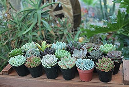Amazon Com 32 Gorgeous Specialty Succulent Wedding Favors In