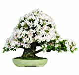 Brussel's Satsuki Azalea Over Rock Specimen Bonsai, Age: 55 Yrs; Height - 24-Inch, ST4040SAOR