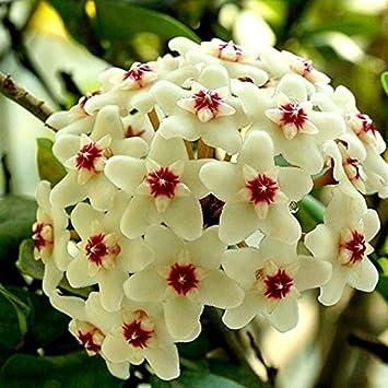 01 EgBert 20Pcs//Pack Hoya graines en Pot graines Hoya carnosa Fleur Graine Jardin Plantes