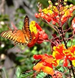 Caesalpinia pulcherrima, flowering Dwarf Poinciana Pride of Barbados - 10 seeds