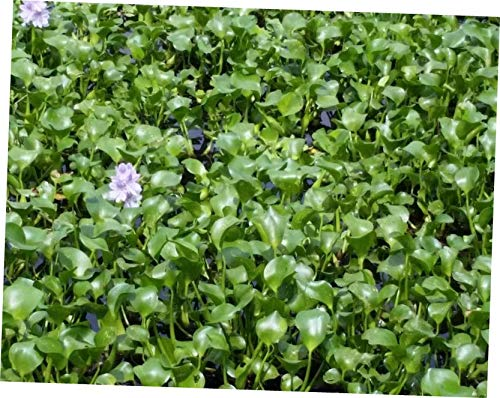 GTY 45 to 65 Bulbs of Water Hyacinth Floating Pond Plants - ()
