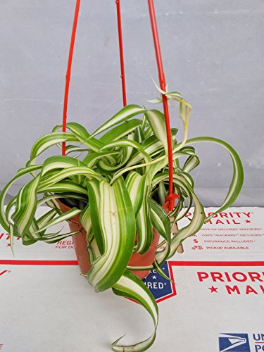 Bonnie Curly Spider Plant - Easy - Cleans the Air - 4'' Pot- unique from jmbamboo by JM BAMBOO