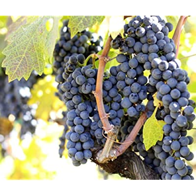 Grape Seeds BARLINKA GMO FREE Organically GrownMEDICINAL 15 Seeds : Garden & Outdoor