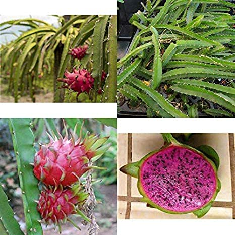 4 Deep Red Dragon Fruit Edgars Baby Four Plants Includes