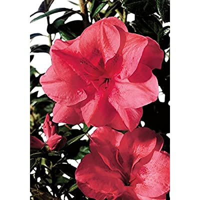 Encore Azalea Autumn Princess : Garden & Outdoor