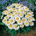 Park Seed Snow Lady Shasta Daisy Seeds