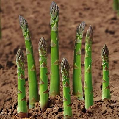 Academyus Asparagus Seeds 20Pcs Asparagus Seeds Heirloom Rare Green Vegetable Perennial Garden Farm Yard Vegetable Seeds for Garden : Garden & Outdoor