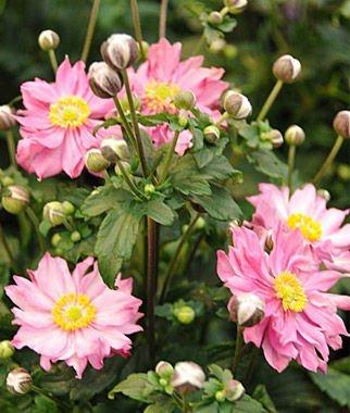 Fantasy Pocahontas 50 Anemone Seeds Upc (Anemone Garden)