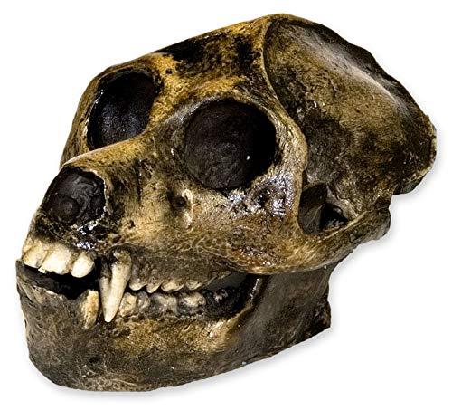 Aegyptopithecus Skull (Teaching Quality Recreation)
