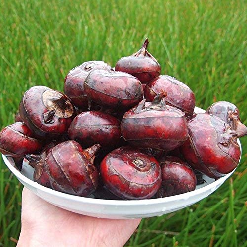 Plentree 1/Pcs Water Chestnut Fruit Seed Super Big Sweet Honey-Dew Seeds Garden Plants