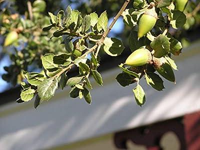 14 pcs/pkt California Live Oak Tree Seeds For Planting