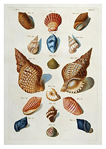 Global Gallery Art on a Budget Franz Michael Regenfuss A Selection of Seashells Unframed Giclee on Paper Print, 36
