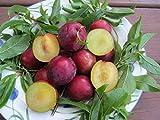 Scarlet Beauty Plum Tree 5 Seeds UPC 648620997746 Self Pollinating