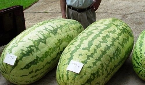 Carolina Cross 180 Watermelon Seeds,Enormous Fruits,reached Over 200 lbs 25 ()