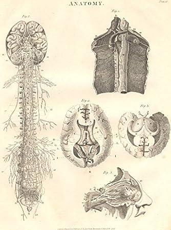 Biologie: Anatomie. Nervensystem, organe. (Oxford Enzyklopädie ...