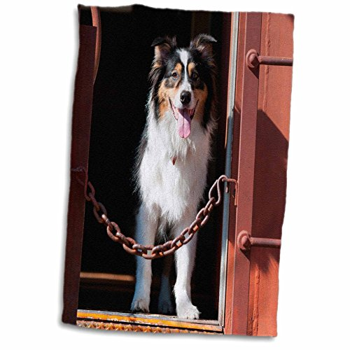 3drose-danita-delimont-dogs-australian-shepherd-in-a-train-car-12x18-hand-towel-twl-230324-1