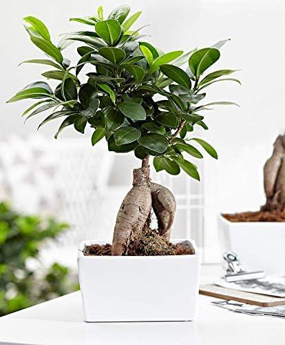 Bonsai BaumGinseng inkl 15 cm Ficus microcarpa /Übertopf H/öhe 30-35 cm Topf-/Ø ca