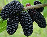 2-3' Persian Black Mulberry Tree, Sweet Fruit to Enjoy Year After Year, Fruit Bearing Potted Plant, in Dormancy