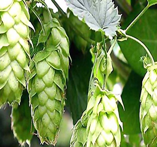BIG PACK - HOPS - Humulus lupulus Seeds (500+) Brew Your OWN BEER TODAY - COMES BACK EVERY YEAR - Plants Develops Rhizomes - Zones 3-8 - Non-GMO Seeds By MySeeds.Co by MySeeds.Co - BIG PACK Seeds