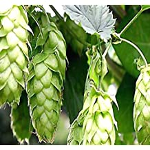 MySeeds.Co 100 x HOPS - Humulus lupulus - Seeds - Brew Your OWN BEER TODAY - COMES BACK EVERY YEAR - Plants Develops Rhizomes - Zones 3-8 - By