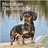 Miniature Dachshunds Calendar 2019 Set - Deluxe