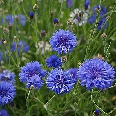 David's Garden Seeds Flower Cornflower Bachelor Button Early Victory SL0219 (Blue) 100 Non-GMO, Heirloom Seeds : Garden & Outdoor