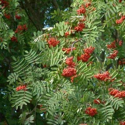 European Mountain Ash Tree Seeds (Sorbus aucuparia) 50+Seeds,- Limits