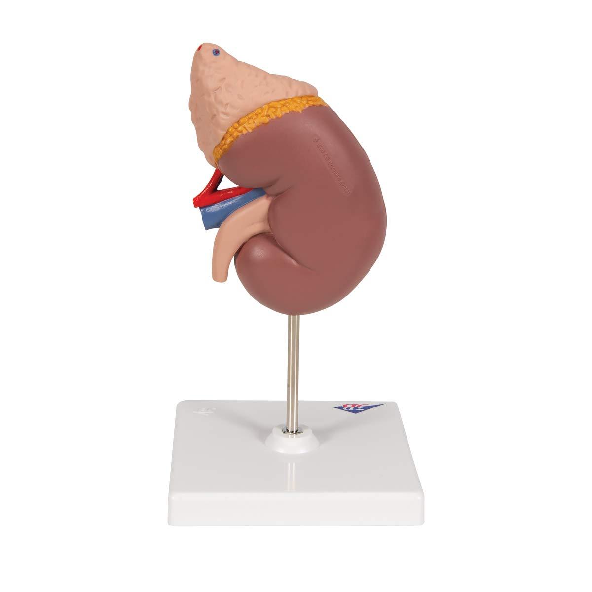 3b Scientific Human Anatomy Kidney Model With Adrenal Gland 2