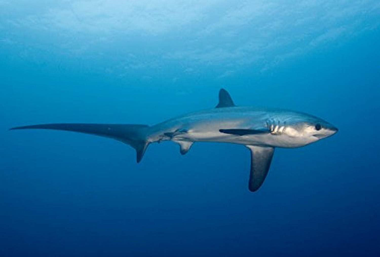 Pelagic thresher shark (Alopias pelagicus) Philippines Malapascua Island Poster Print by VWPicsStocktrek Images (17 x 11)