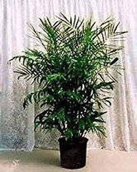 15 Seeds Chamaedorea Florida Hybrid Palm House Plant Bamboo Palm Seeds