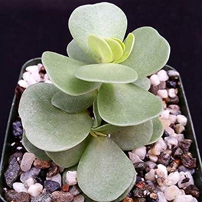 Portulaca molokiniensis Cactus Cacti Succulent Real Live Plant : Garden & Outdoor
