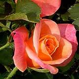 "Joseph's Coat Rose Bush Apricot Climbing Rose 4"" Pot Organic Grown USA"
