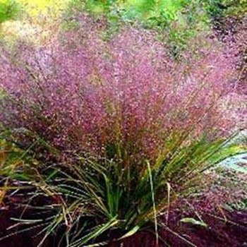 Outsidepride Love Grass Purple - 500 Seeds ()