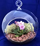 Round Hanging Mini Violet Terrarium Kit - Great Gift! - Easy to Grow - 5'' Glass